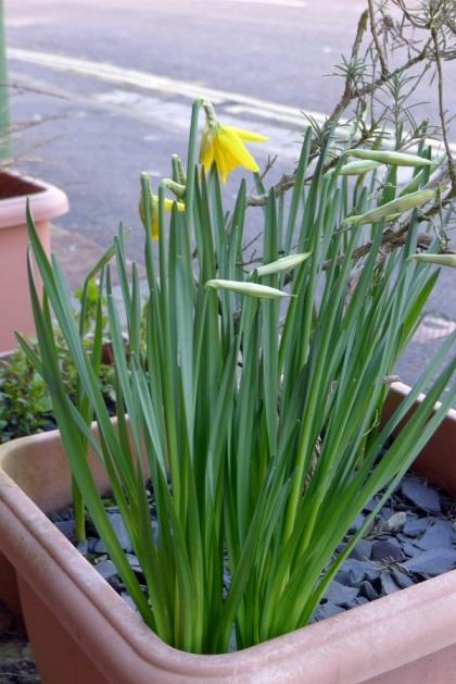 0116-daffodils