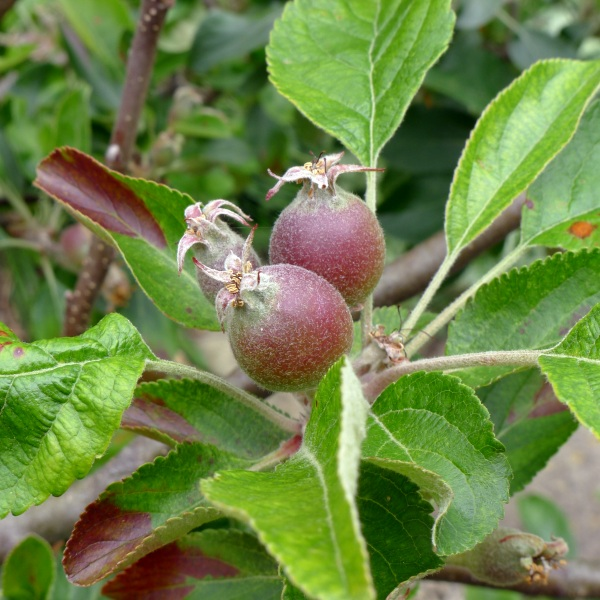 0154-apples