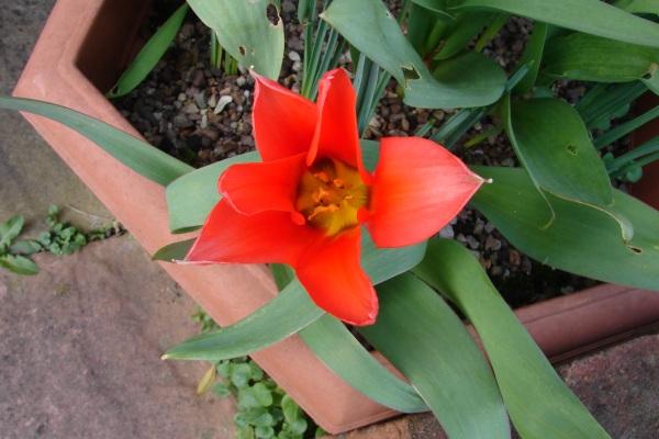 0154-tulip