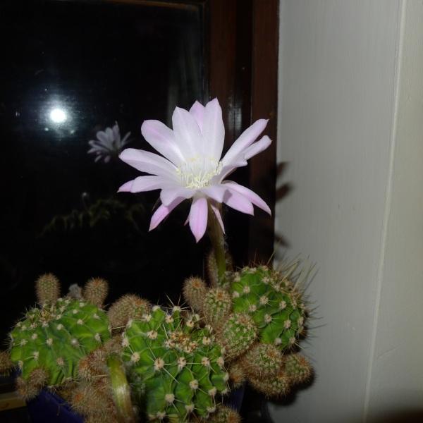 0177-cactusflower