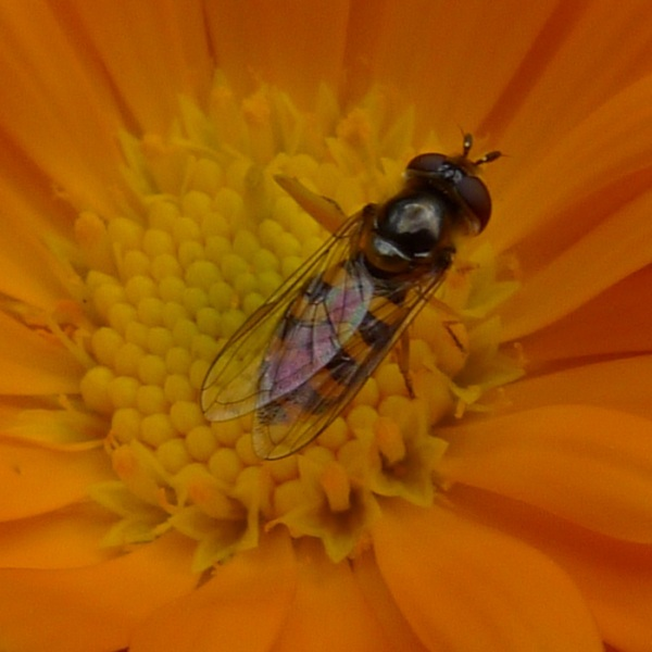 Fly in a flower (colour)