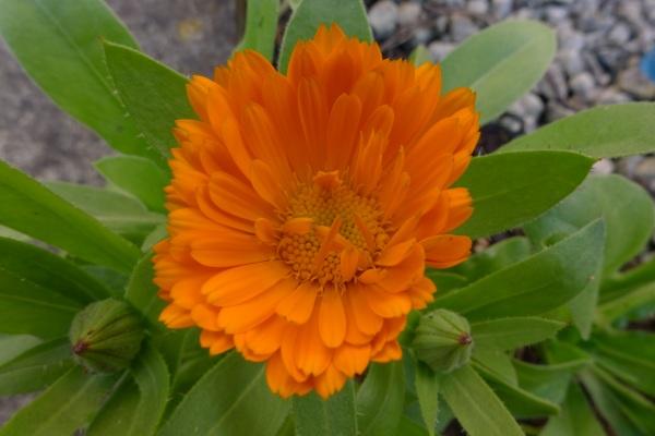 0188-marigold