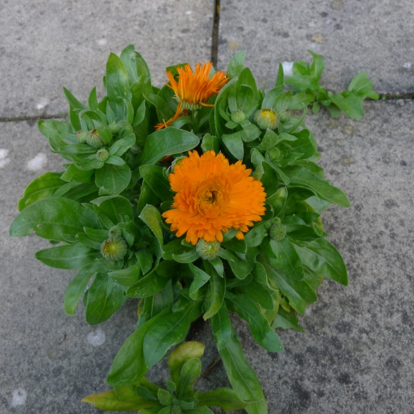 flowerinpaving