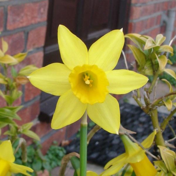 0194-daffodil