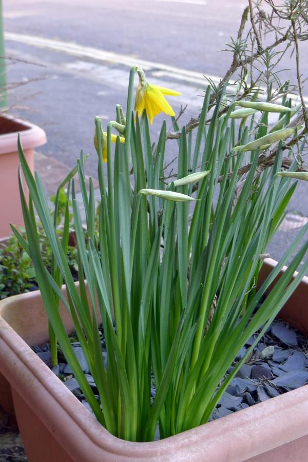 0194-daffodils