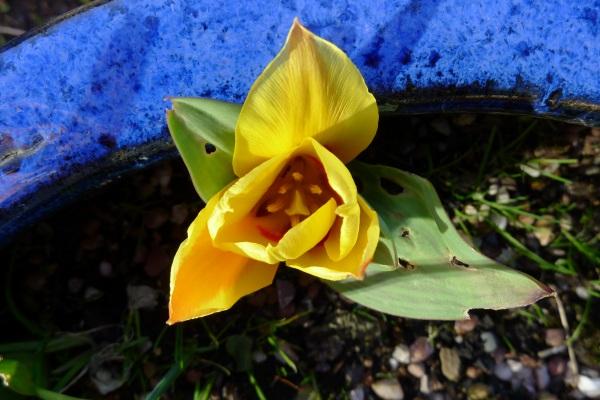 0194-tulip