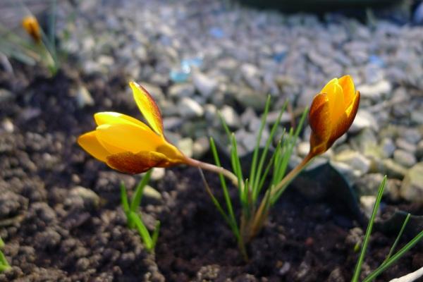 0194-yellowcrocus