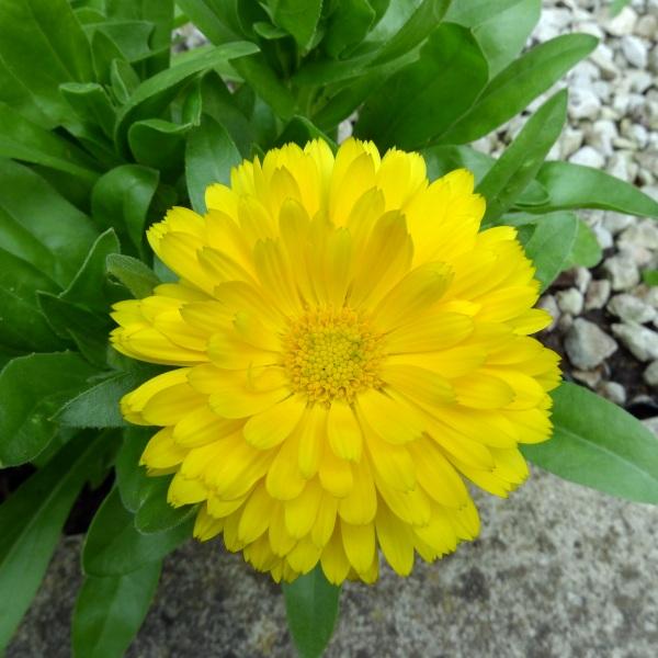 0194-yellowmarigold