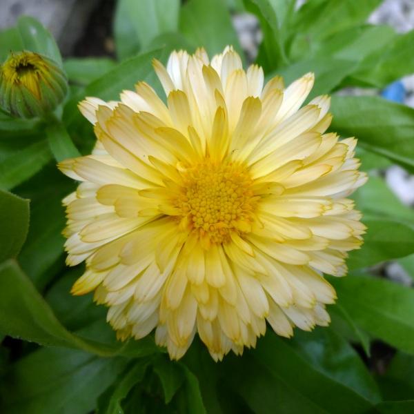 0194-yellowmarigold2