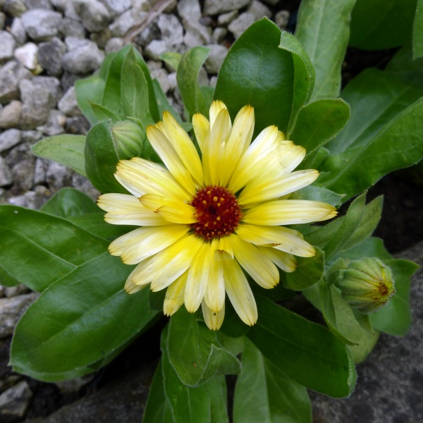0194-yellowmarigold3