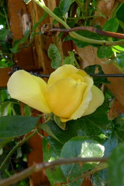 0194-yellowrose