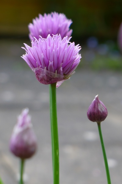 0207-chives