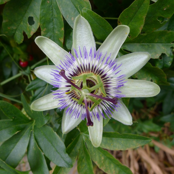 0207-passionflower