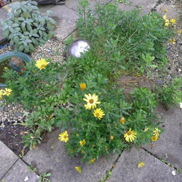 0211-daisylikeflowers