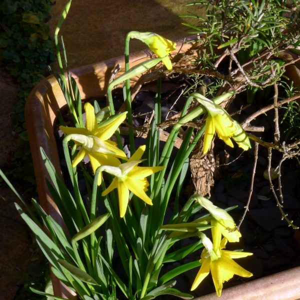 0231-daffodils