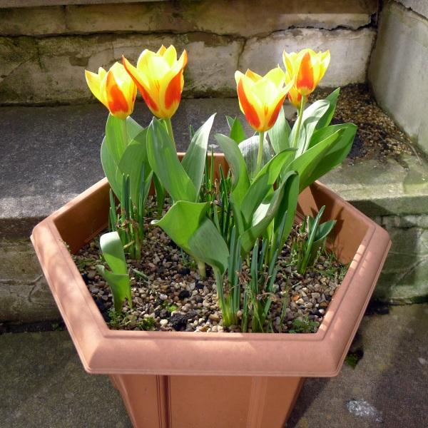 0236-tulips