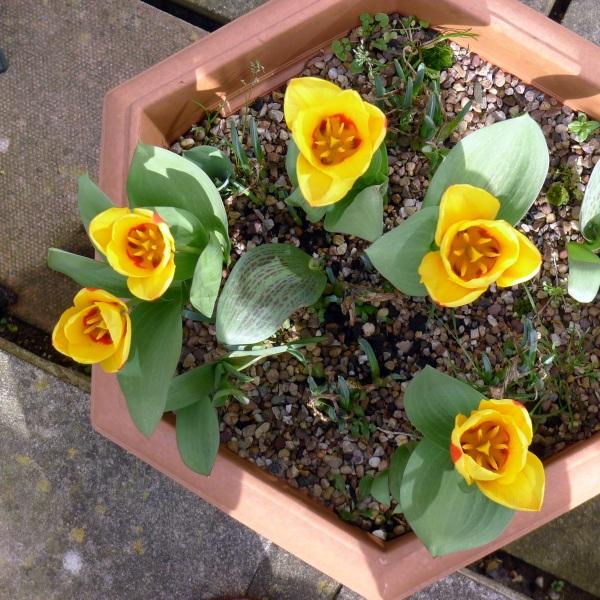 0236-tulipsbelow