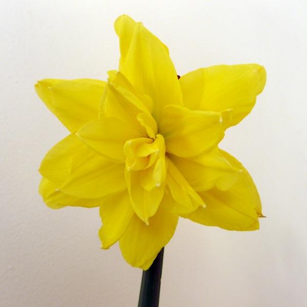 0244-daffodil