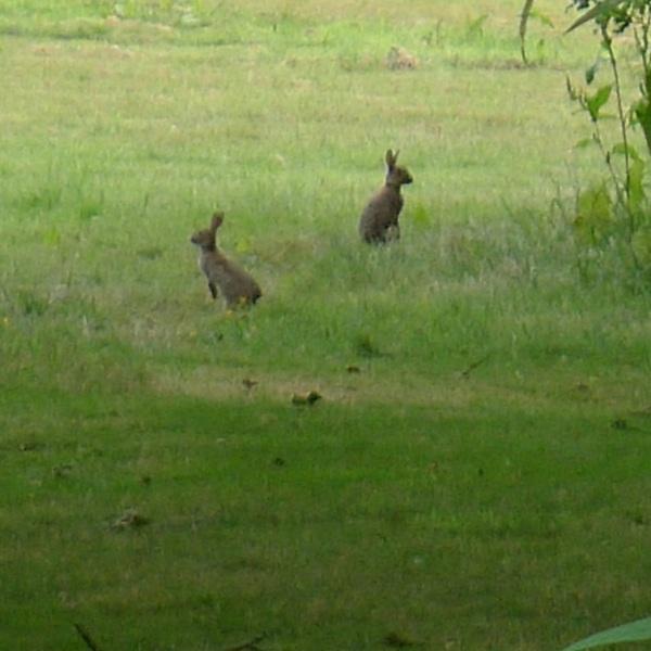 0275-rabbits