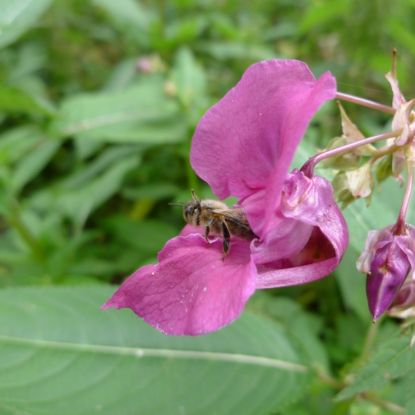 Bee emerging from flower