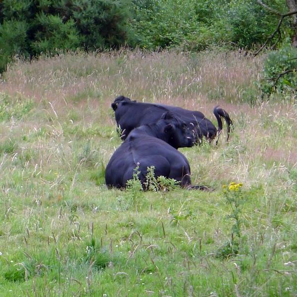 0277-cows