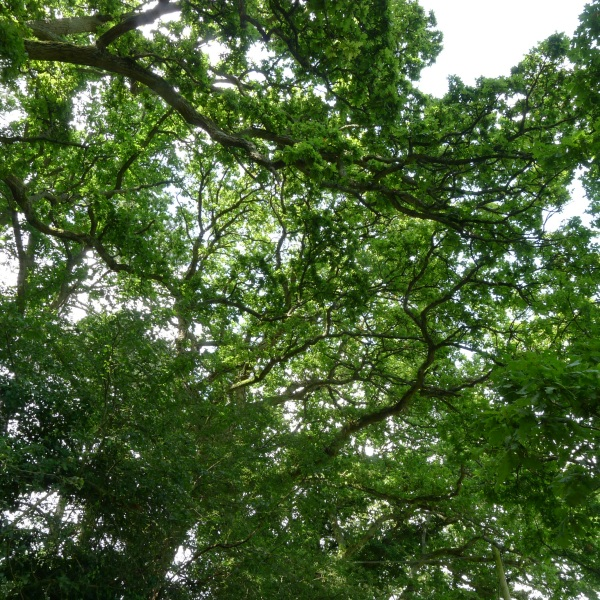 Leafy canopy over road