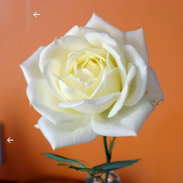 0286-rose-errors