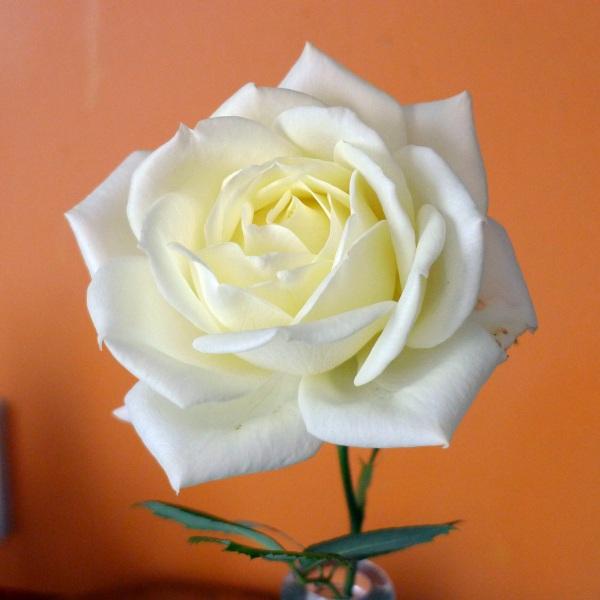 0286-rose