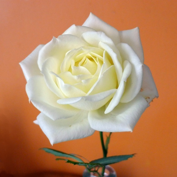 White rose (colour)