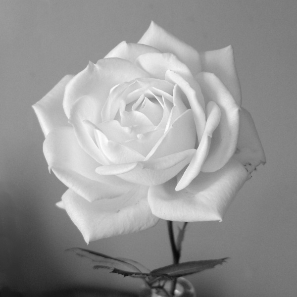 White rose (monochrome)