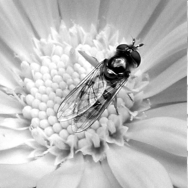 Fly in a flower (monochrome)