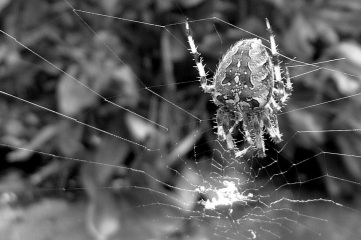Spider on it's web