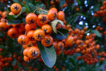 Pyracantha berries