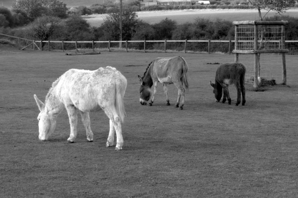 Donkeys (monochrome)