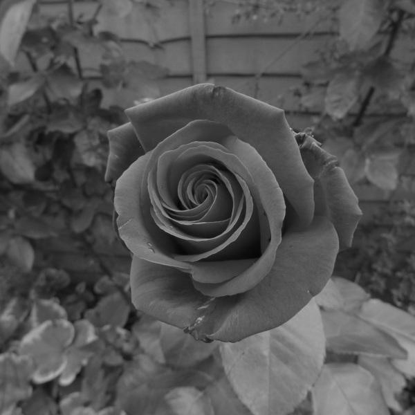 Red rose (monochrome)