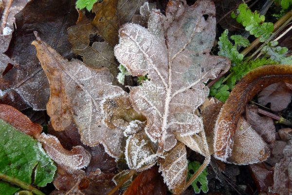 0320-01frostedleaves