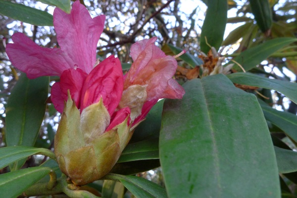 0320-13rhododendron
