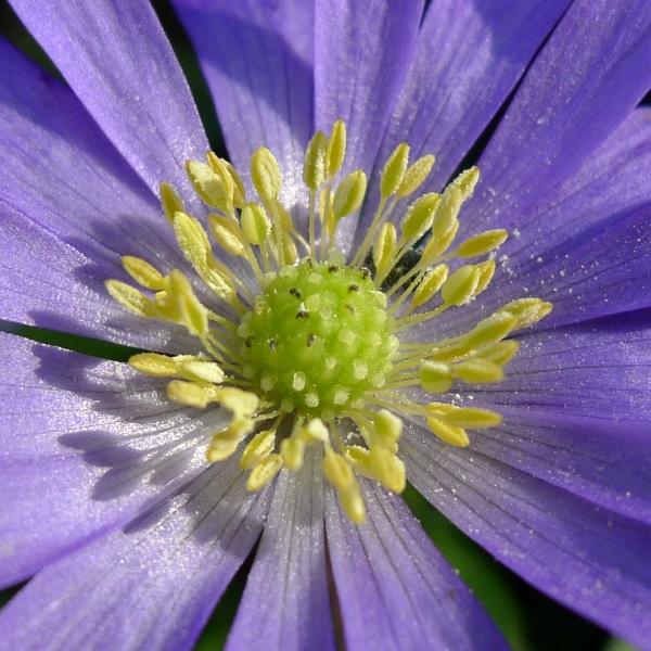 Blue anemone stamens
