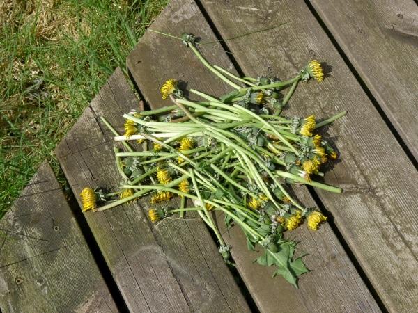 Dead dandelions