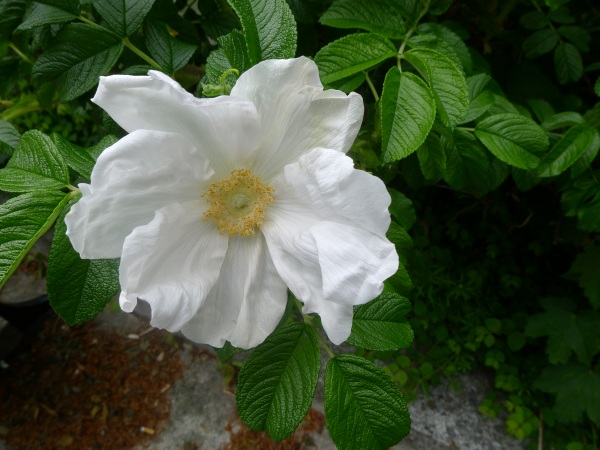 White rugosa rose