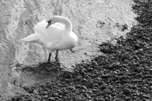 Rainbow Junkie - (2-3) Swan