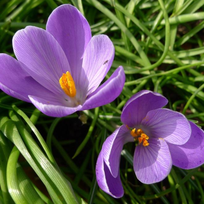 Purple crocii