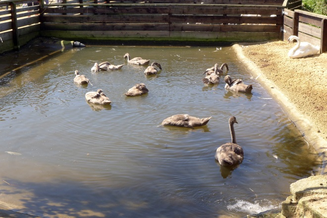 Family of cygnets