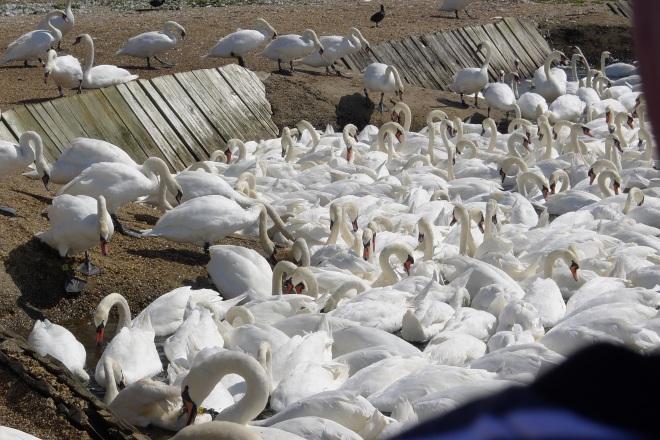Swans en masse