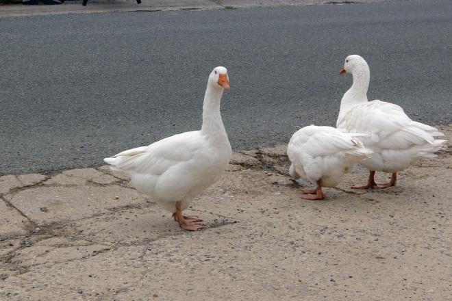 Abbotsbury Geese