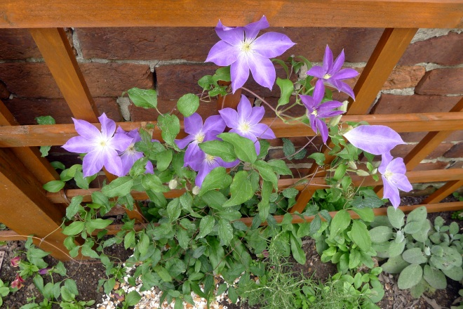 clematis last September