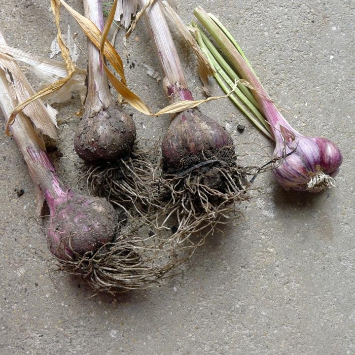 garlic just dug up