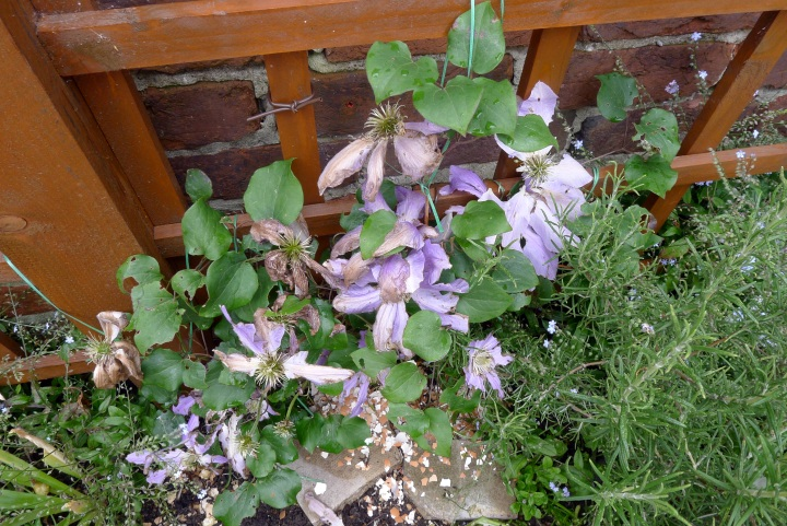 Clematis after hot weather