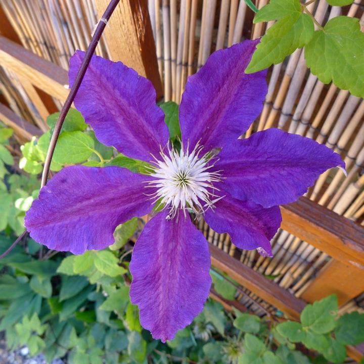 Single clematis flower
