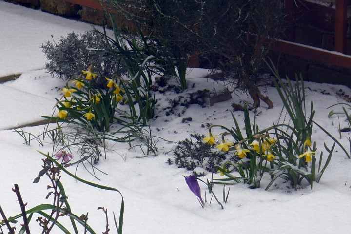 daffodils and crocus in the snow